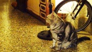 巷子有貓的店貓,有著毛茸茸的虎斑紋。